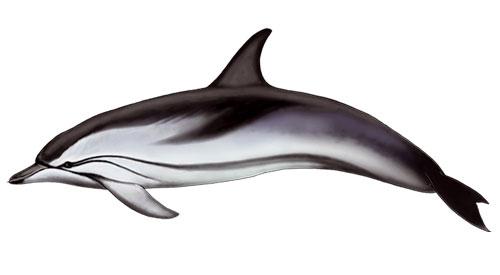 Golfinho Riscado