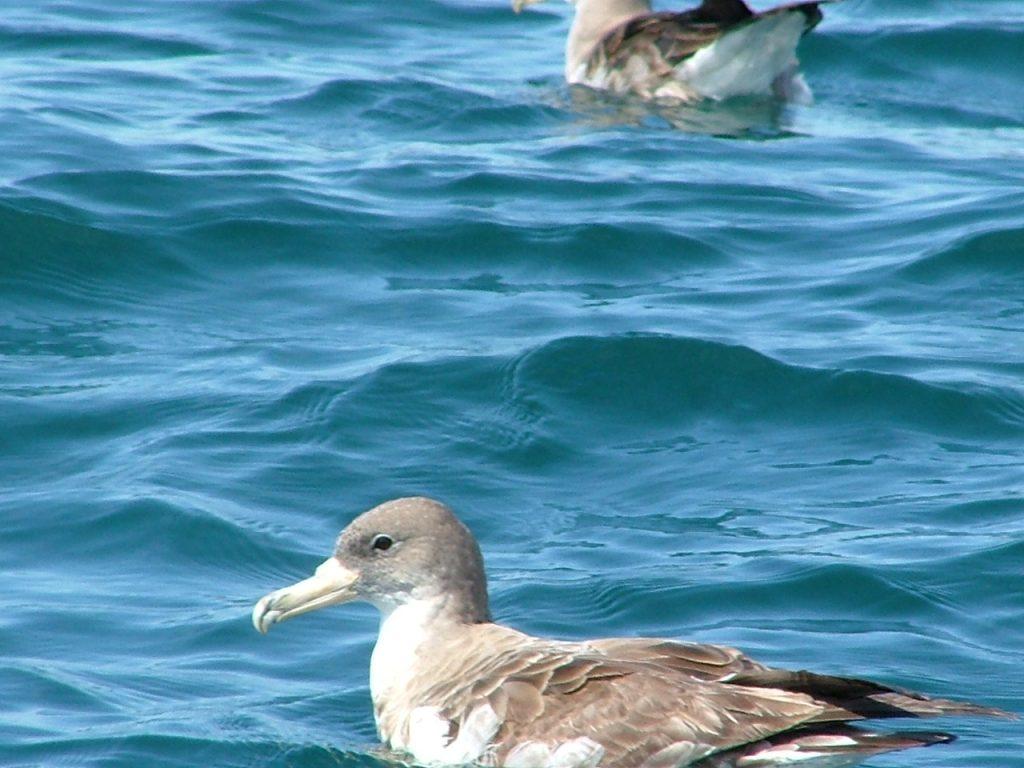 seabird-corys-shearwater-lisbon
