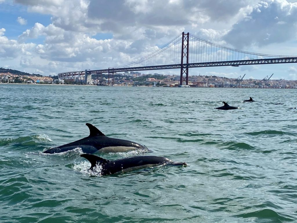 dolphins spotted under the 25th of april bridge