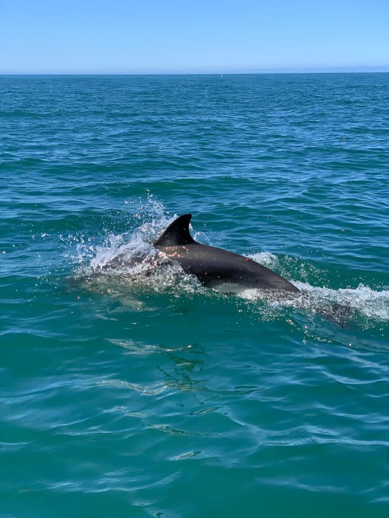 Common dolphin exiting the Tagus River