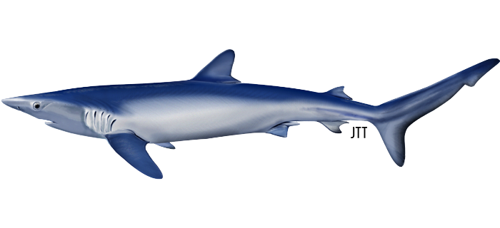 Sometimes blue-sharks are spotted at the surface
