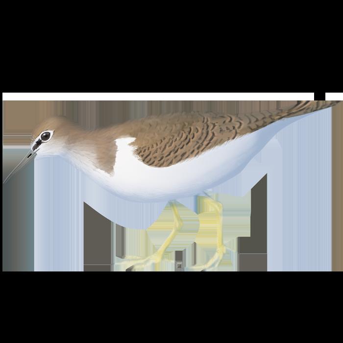 Common Sandpiper of the Tagus Estuary