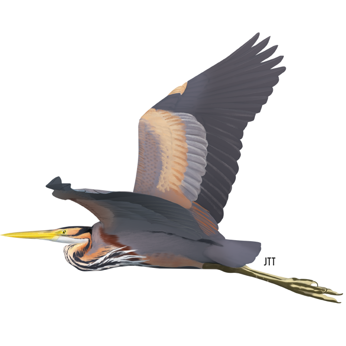 Purple Heron of the Tagus Estuary