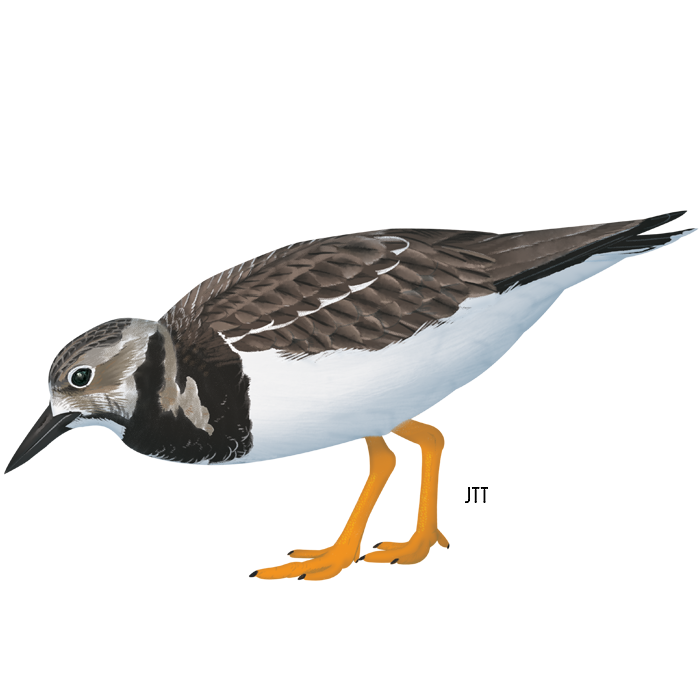 Ruddy Turnstone of the Tagus