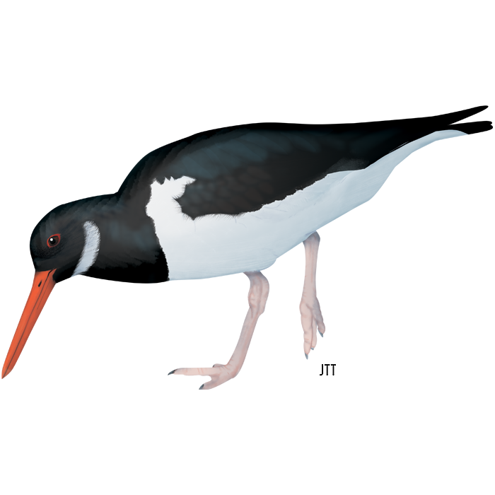 Eurasian Oystercatcher of the Tagus Estuary