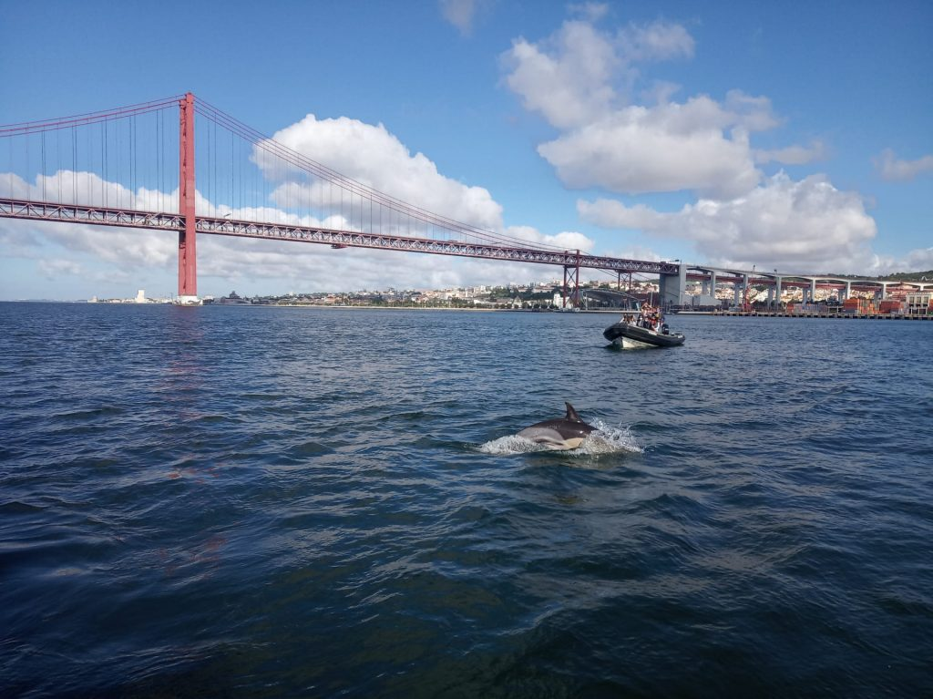 Common-dolphins-SeaEO-Boat-Tour-Dolphin-Watching-Lisbon