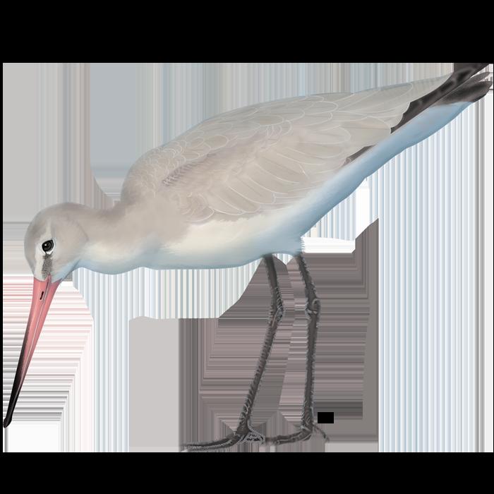 Black-tailed Godwit of the Tagus Estuary