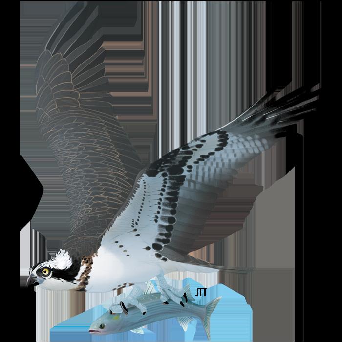 Osprey of the Tagus Estuary
