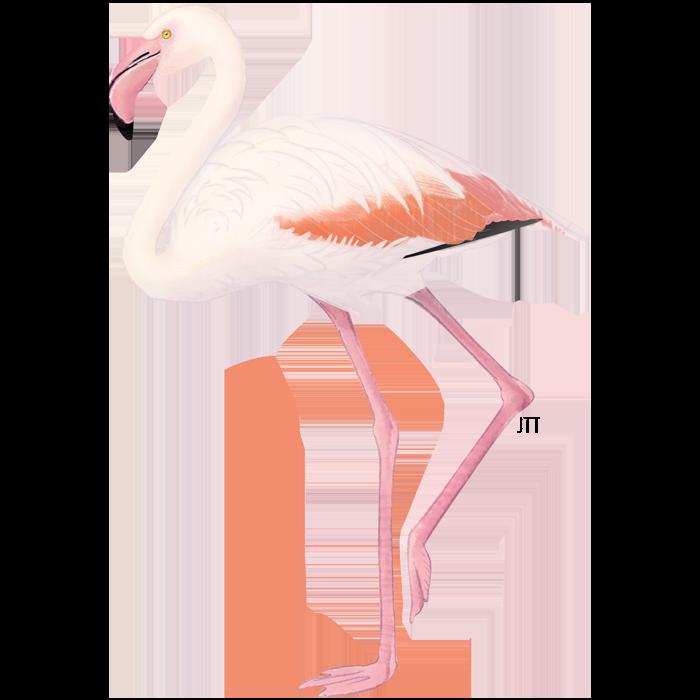 Pink flamingo of the Tagus Estuary