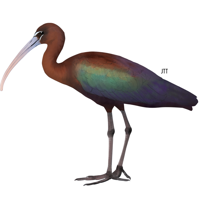 Glossy Ibis of the Tagus Estuary