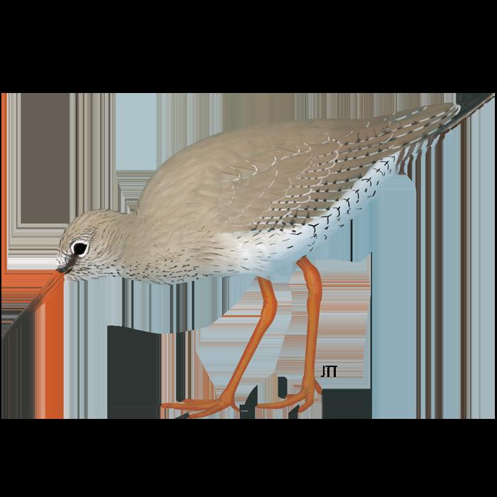 Redshank of the Tagus Estuary