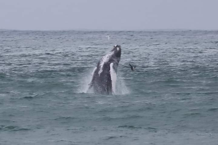 humpback-whale-jumping-cascais