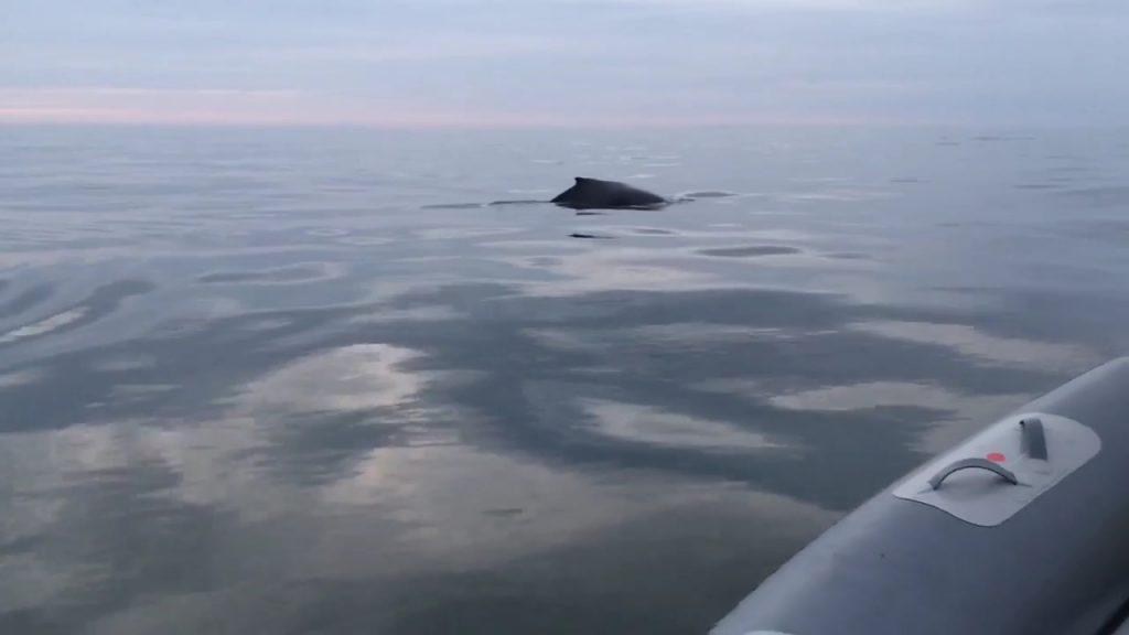 humpback-whale-lisbon