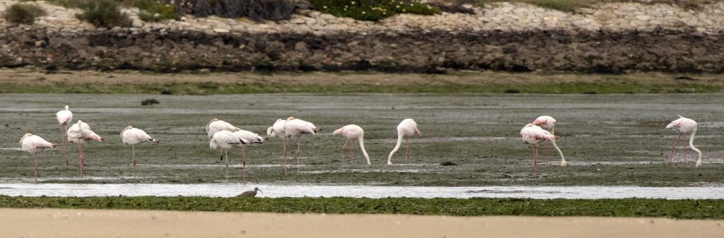 Great-flamingos-Birdwatching-Lisbon-Boat-Tour
