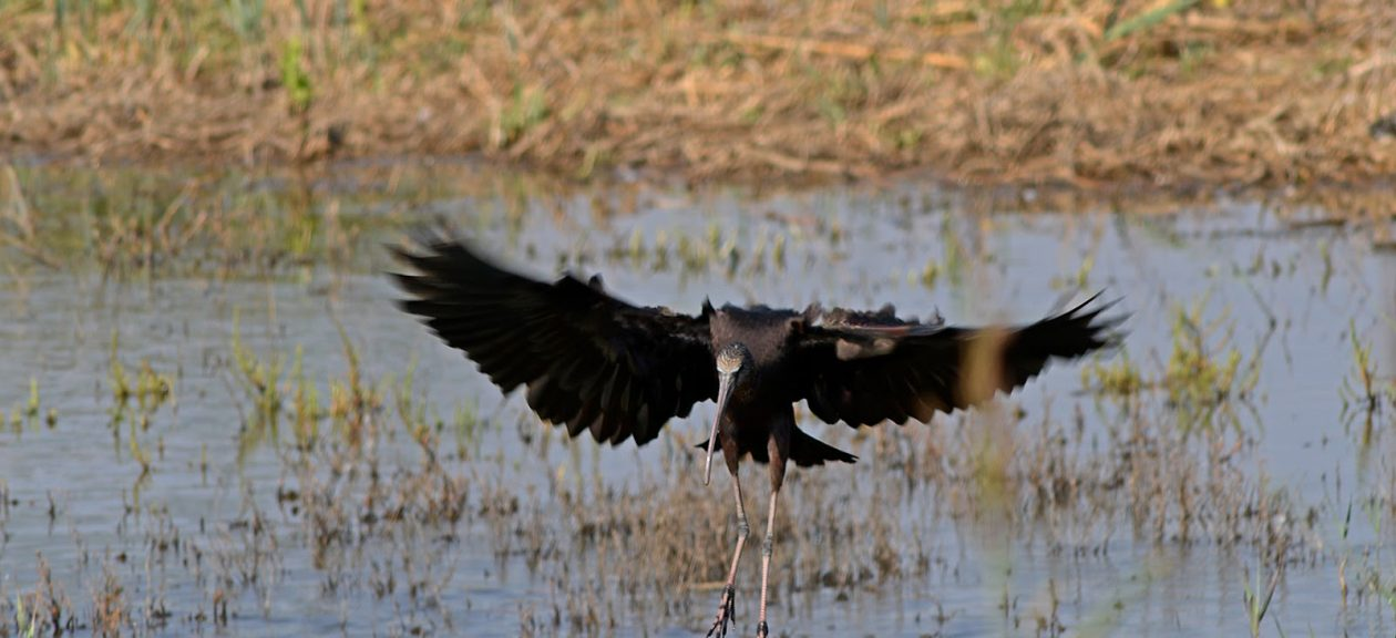 Birdwatching Glossy Ibis flying in the Tagus Estuary