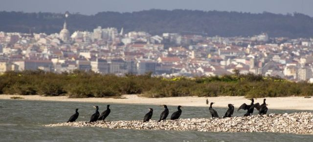 Great Cormorants with Lisbon city background on a Birdwatching boat tour in Lisbon
