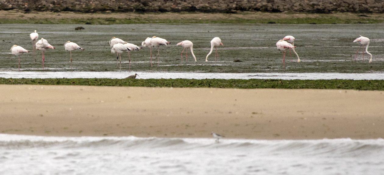 Great flamingos