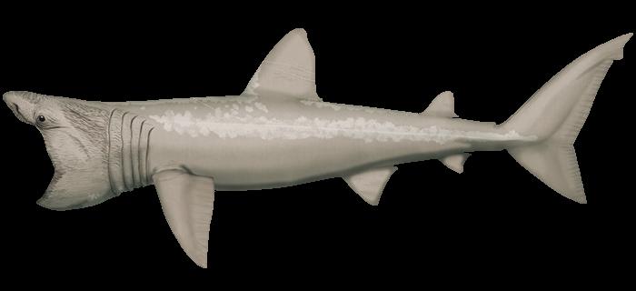 Baskin Shark